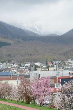 手稲山と桜